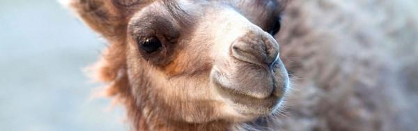 """Kamel als """"Produzent"""" des genialen Füllmaterials"""